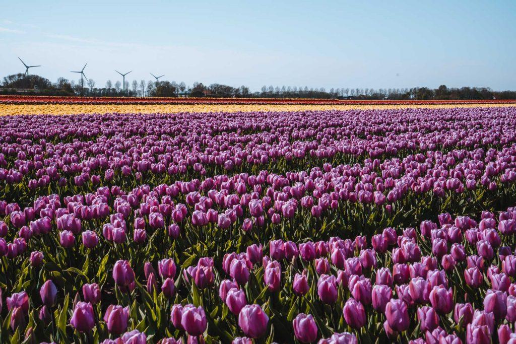 Dutch tulip fields, Tulip fields in the Netherlands, Tulip fields Holland